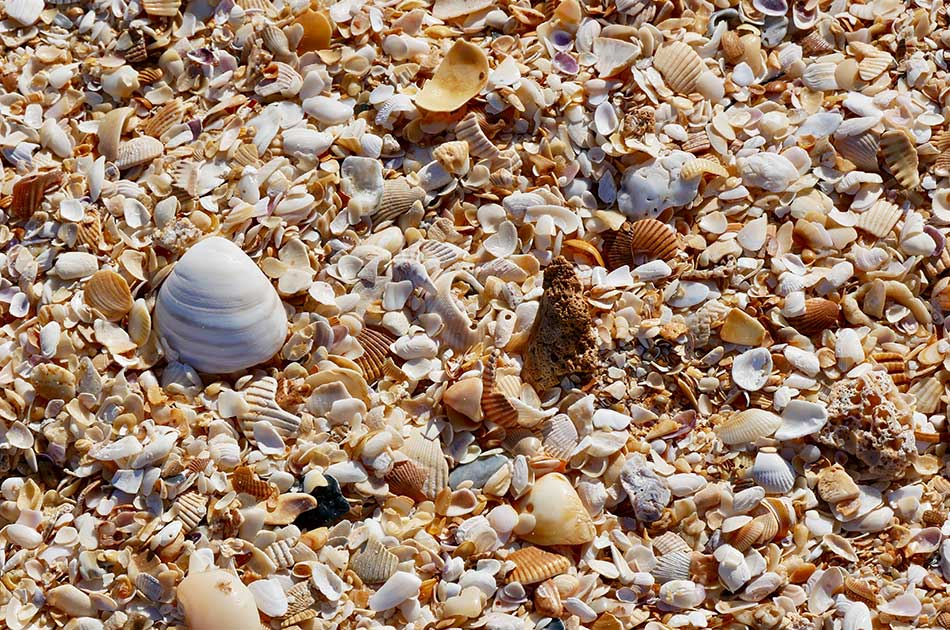 best places to shell on anna maria island bean point coquina